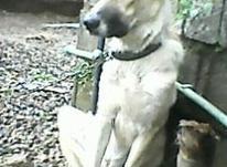 یک سگ سرابی 11ماه هست دوتاواکسن خورده شناسنامه دار در شیپور-عکس کوچک