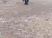 سگ قدرجونی در شیپور-عکس کوچک