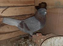 کبوتر نر مست  در شیپور-عکس کوچک
