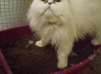 گربه پرشین سرحال و کاملا تربیت شده در شیپور-عکس کوچک