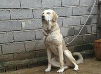 سگ ماده کرد  در شیپور-عکس کوچک
