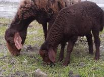 5راس گوسفندبره دارجوان در شیپور-عکس کوچک