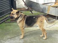 فروش سگ ژرمن دورگه  در شیپور-عکس کوچک