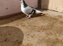 کبوتر امری نر در شیپور-عکس کوچک