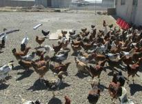 فروش ویژه و محدود مرغ بومی در شیپور-عکس کوچک