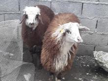 فروش گوسفند در شیپور