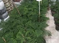 کاج مطبق گلخانه ای در شیپور-عکس کوچک