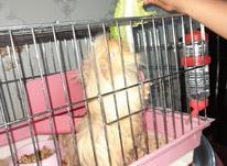 خوکچه هندی به اسم قندی به فروش میرسد در شیپور-عکس کوچک