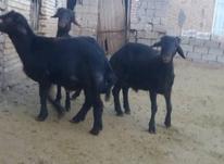 قوچ های پنج ماهه در شیپور-عکس کوچک