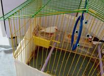 یک جفت فنچ مولد  در شیپور-عکس کوچک