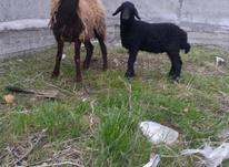 10راس گوسفند بره دارمخصوص داشتی  در شیپور-عکس کوچک