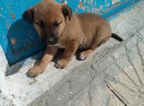 توله سگ گرگی ژرمن در شیپور-عکس کوچک