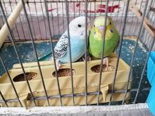 جفت مرغ عشق زیبا در شیپور
