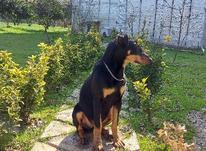 فروش سگ دوبرمن اصیل  در شیپور-عکس کوچک
