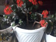 تعدادی گلهای زیبا به فروش میرسد زیر قیمت گلخانه  در شیپور