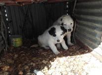 سگ گالشی و نگهبان...نر و ماده در شیپور-عکس کوچک