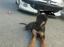 توله سگ ژرمن بلک فیس در شیپور-عکس کوچک