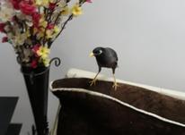 مرغ مینای سخن گو در شیپور-عکس کوچک