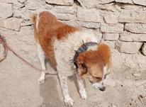 یک قلاده سگ خراسانی هیکل پر زور   در شیپور-عکس کوچک