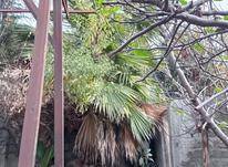 درخت پالم بزرگ  در شیپور-عکس کوچک