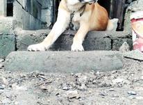 سگ خراسانی نر در شیپور-عکس کوچک