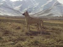 ماده سگ سراب در شیپور-عکس کوچک