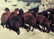بره افشار (گوسفند) در شیپور-عکس کوچک