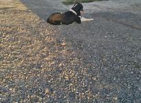 سگ نر............... در شیپور-عکس کوچک