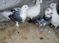 کبوتر ماده در شیپور-عکس کوچک