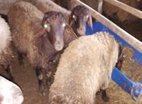 قوچ افشار بره دورگ و افشار و گوسفند در شیپور-عکس کوچک