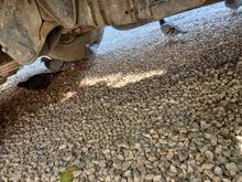 کبوتر های سوز خطی در شیپور