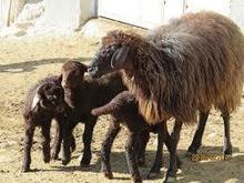 کارشناس امور دام (گوسفند داشتی) مقیم مزرعه در شیپور