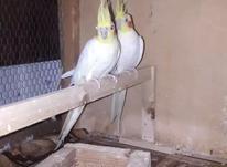 طوطی عروس هلندی لوتینو مولد  در شیپور-عکس کوچک