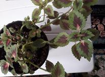 گل طبیعی اپارتمانی در شیپور-عکس کوچک