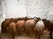 بفروش میرسد بره نروماده  در شیپور-عکس کوچک