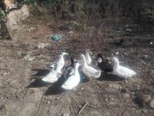 اردک خانگی در شیپور