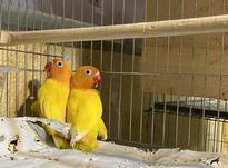 فروش جفت های مولد طوطی برزیلی در انواع زنگ با تست تعیین جنسی در شیپور-عکس کوچک