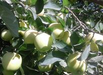 باغ.سیب.درروستا در شیپور-عکس کوچک
