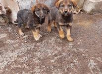 فروش 4قلاده سگ مناسب نگهبانی  در شیپور-عکس کوچک