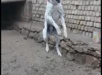 سگ  نگهبان  در شیپور-عکس کوچک