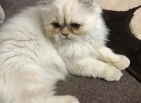 گربه پرشین سفید در شیپور-عکس کوچک