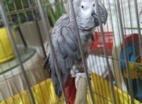 طوطی کاسکو  در شیپور-عکس کوچک
