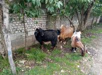 فروش 3عدد بز جوان و سالم. در شیپور-عکس کوچک