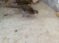 قرقاول لیدی ماده درجه یک ارجینال.با طاووس.قوغاز در شیپور-عکس کوچک