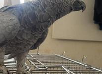 طوطی کاسکو ماده با قفس در شیپور-عکس کوچک