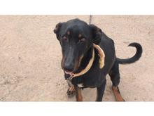 سگ ماده دوبرمن مالینویز 2سال در شیپور
