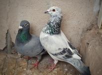 یک جفت کبوتر عالی در شیپور-عکس کوچک