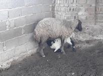گوسفند بره مار _ وره مار در شیپور-عکس کوچک