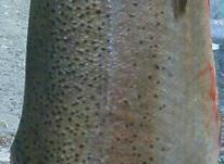 ماهی قزل آلا هراز جاده هراز گزنک فروشگاه فیش لند در شیپور-عکس کوچک
