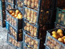 عمده ای پرتقال تامسون شمال  در شیپور